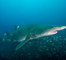 Sand Tiger Shark in the Outer Banks by Brent Barnes