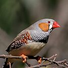 Cheeky Zebra Finch by Lance Leopold