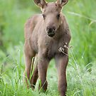 Cute Moose Calf by Tim Grams