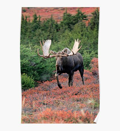 Bull Moose in Autumn Poster