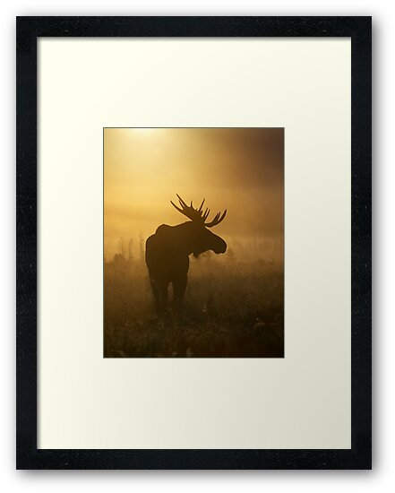 Bull Moose in Fog by Tim Grams
