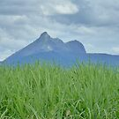 Mount Warning with Cane fields by Virginia  McGowan