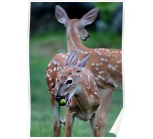Fawns in our yard Poster