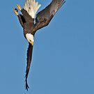 The Diving Eagle by Tim Grams