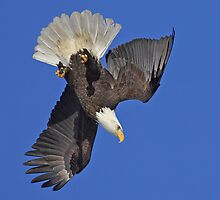 Diving Eagle by Tim Grams