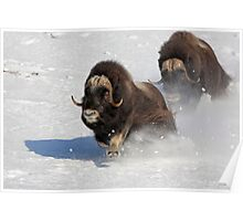 Running of the Bulls- Musk Ox Style Poster
