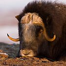 The Snoozing Musk Ox by Tim Grams