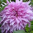 Dahlia in Silky Mauve... by Carol Clifford