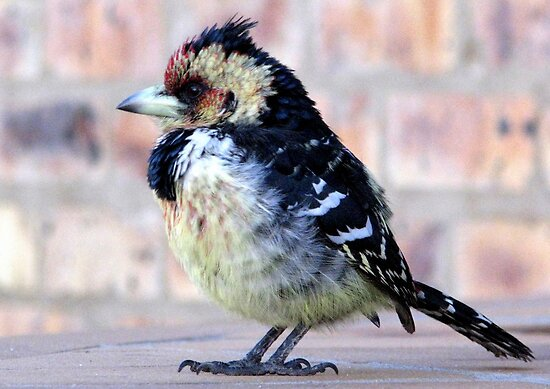 Crested Barbet / Kuifkophoutkapper by Elizabeth Kendall