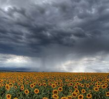 Sunflowers Before the Storm by mjdenver
