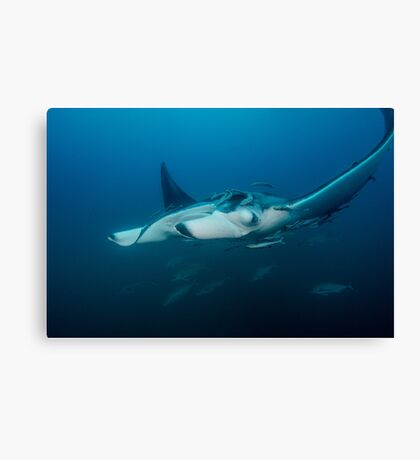 Mant Ray With Remoras Canvas Print