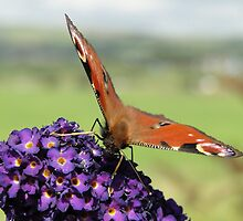 Peacock Butterfly by Barrie Woodward