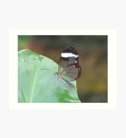 Glasswing Butterfly Art Print