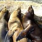 Sealions by ivanfeltonglenn