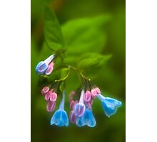 Virginia Bluebells Photographic Print