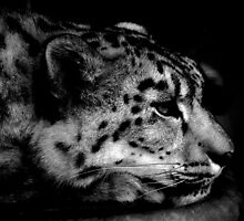 Snow Leopard by Karen  Betts
