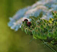 LADYBIRDS (LADYBUGS IF IN U.S.A) by The-Stranger