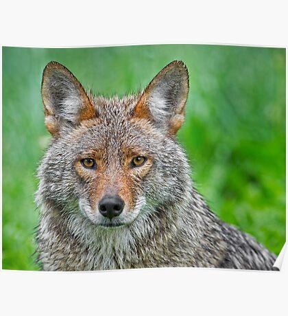 Coyote pretty Poster