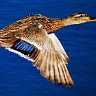 Mallard Duck in Flight by George I. Davidson
