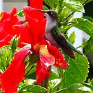 Humming Bird at the Hibiscus by Molly  Kinsey