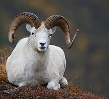 Dall Sheep Ram by Tim Grams