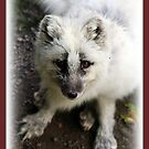 Little White Fox by Angie O'Connor
