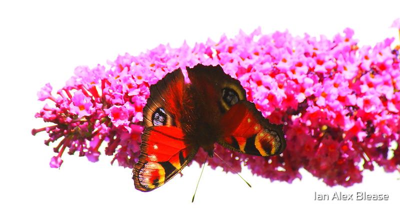 Peacock Butterfly on Buddleja, Darlington England by Ian Alex Blease