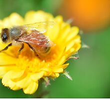 Bee on Calendula rests by JoBling