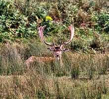 Fallow Deer Bradgate Park  (I am watching you) by Elaine123