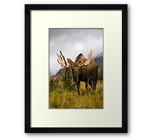 Inquisitive Moose Framed Print