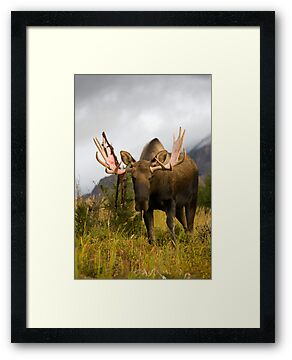Inquisitive Moose by Tim Grams