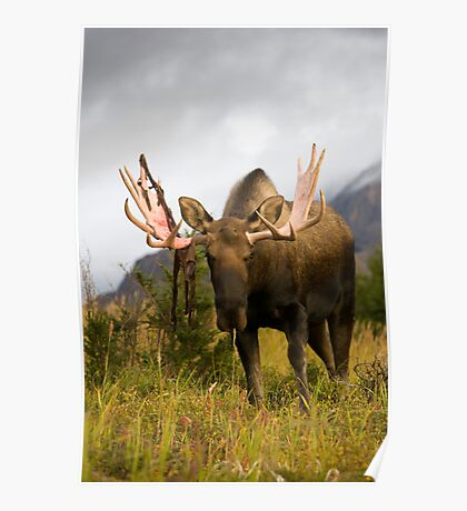 Inquisitive Moose Poster