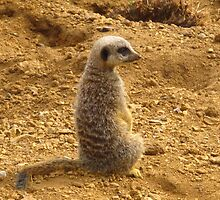 Meerkat - Chester Zoo by ERNEST263