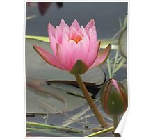 Waterlily with bud Poster