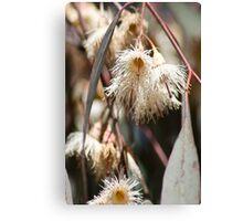 Eucalyptus sideroxylon Canvas Print