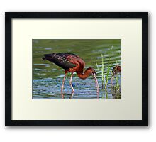 Glossy Ibis Foraging Framed Print