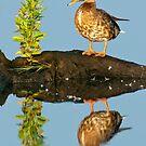 Mottled Duck by Michael Mill