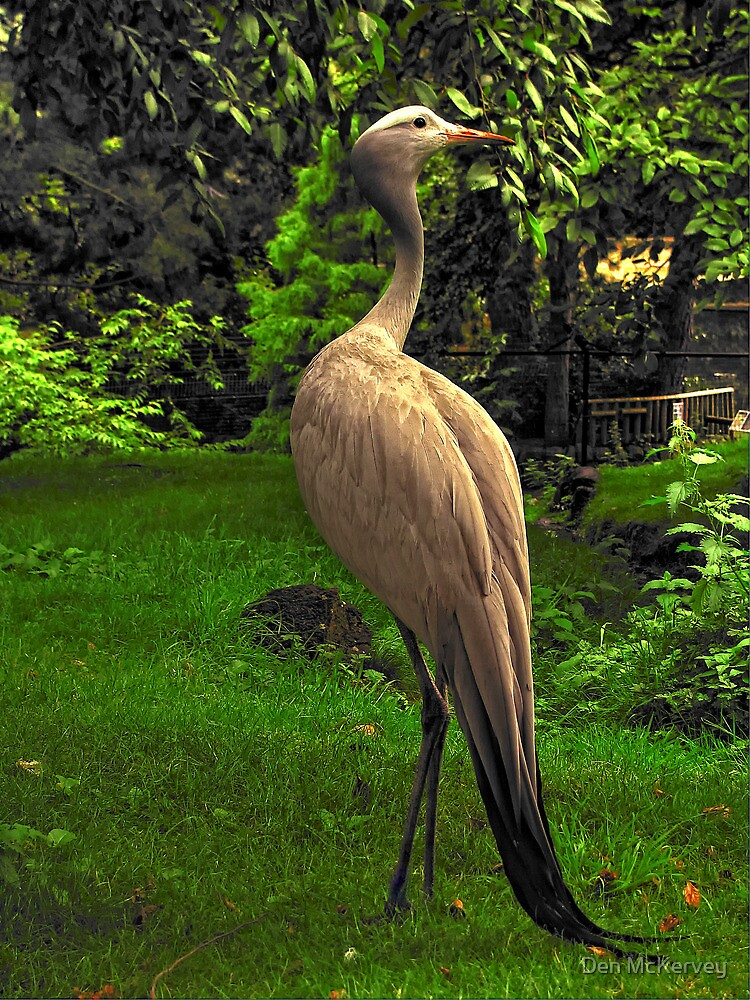 Stanley's Crane, Edinburgh Zoo by Den McKervey
