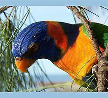 Rainbow Lorikeet by jono johnson