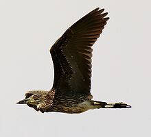 Young Black Crowned Night Heron by Paulette1021