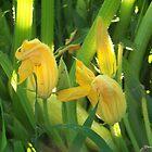 summer squash flowers by kentuckashee