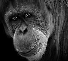 Sumatran Orangutan by Paula McManus