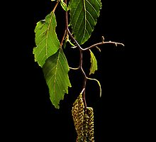 Spring Catkins by Barb Leopold