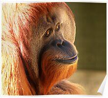 Male Sumatran Orangutan Poster