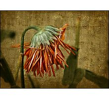 Death of a Marigold Photographic Print