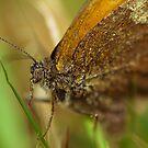 Pyronia Tithonus by Jessica Loftus