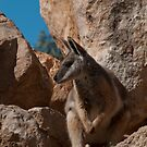 Yellow-Footed Rock Wallaby by SusanAdey