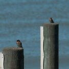 Welcome Swallows, Milang by SusanAdey