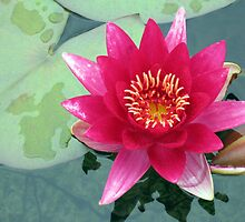 Floral Eloquence - Vibrant Pink Water Lily by BlueMoonRose