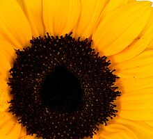 Yellow sunflower by homydesign